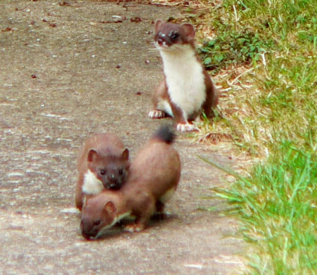 Weasel Ferret Family to Weasels And Ferrets