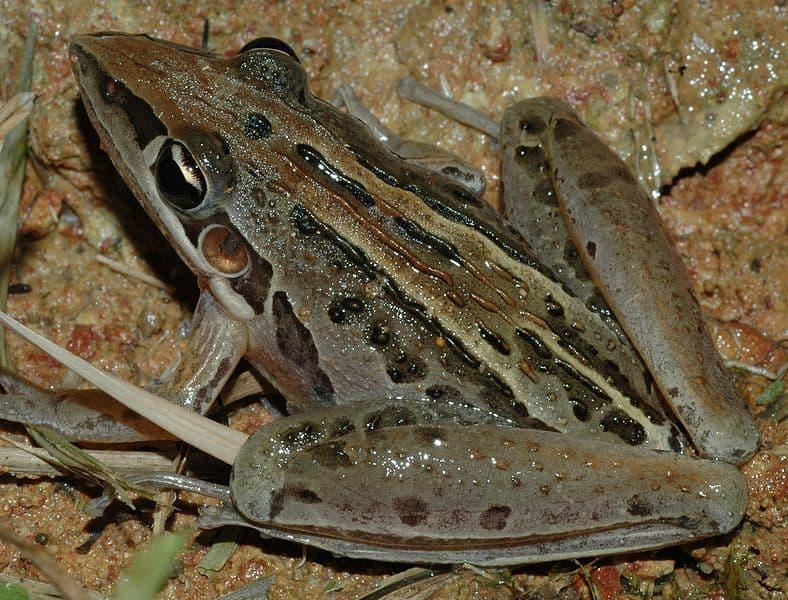 Striped Rocket Frog on leaves
