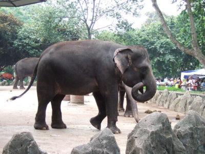 A Sumatran Elephant