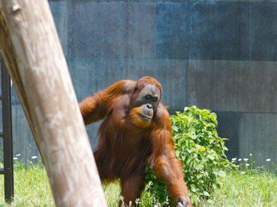 A Sumatran Orang-utan