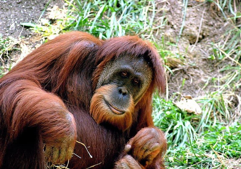 Picture 4 of 8 - Pictures and Images - Sumatran Orang-utan (Pongo ...