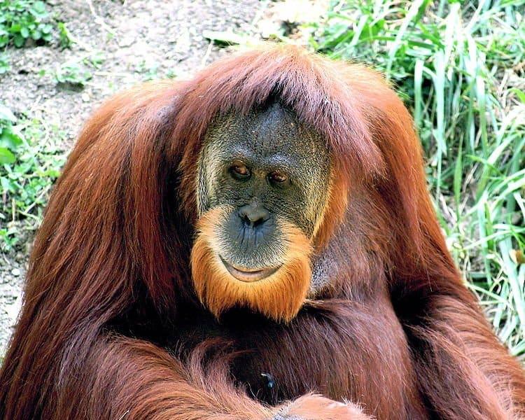 Orangutan Lifespan Pongo abelii  Cincinnati Zoo