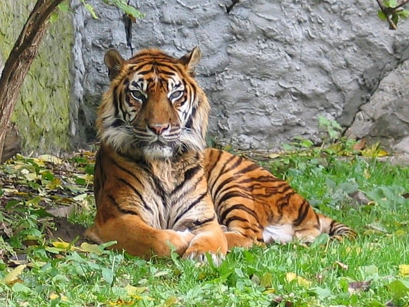 Sumatran Tiger lying on grass