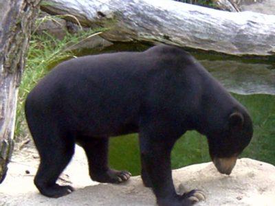 A Sun Bear
