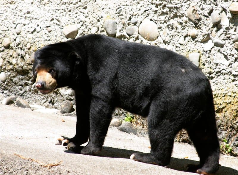 SUN BEAR (Helarctos malayanus) - Animals - A-Z Animals - Animal.