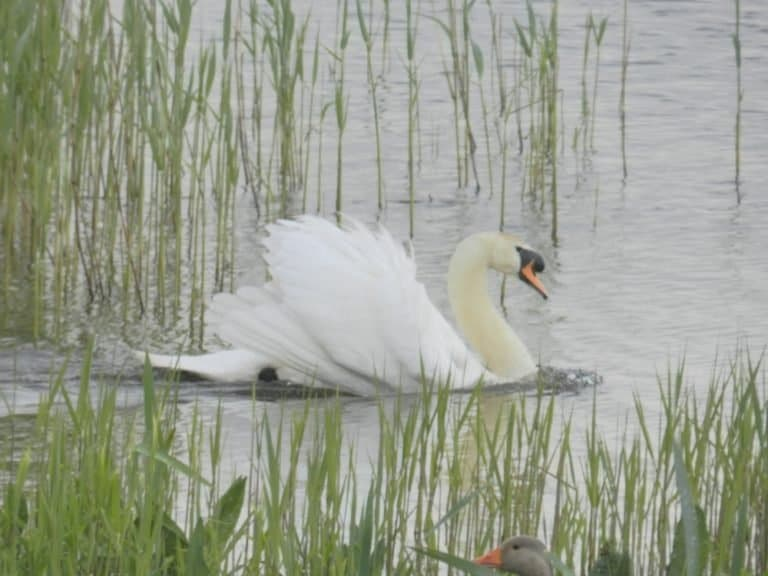 A dominant male Mute Swan at RSPB Minsmere Reserve