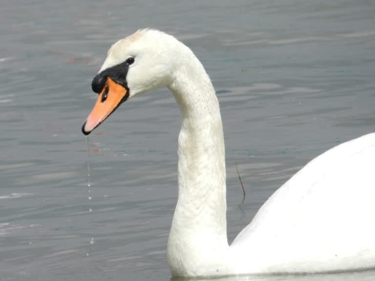 Mute Swan on the River Orwell