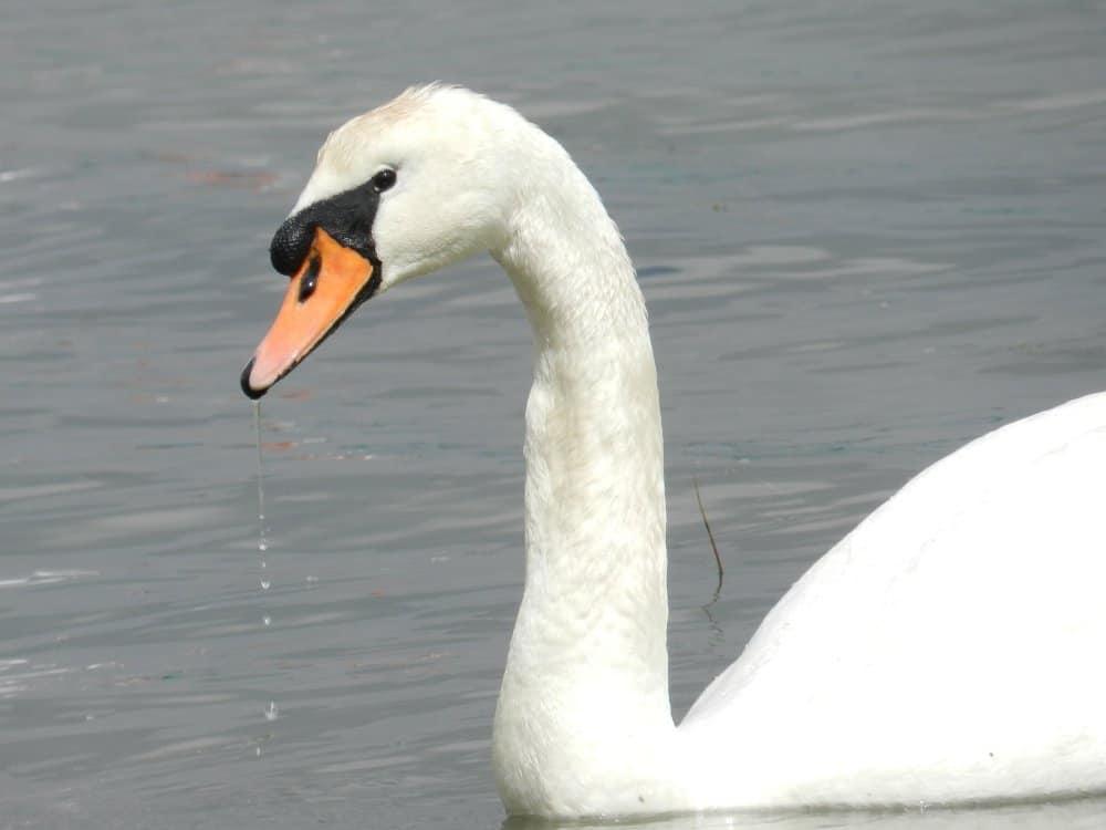 swan cygnus atratus animals a z animals