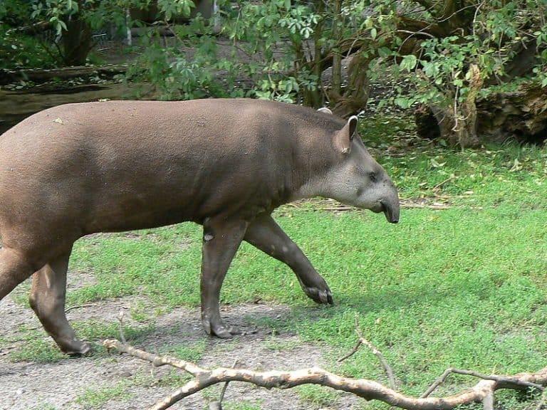 South American tapir on grass