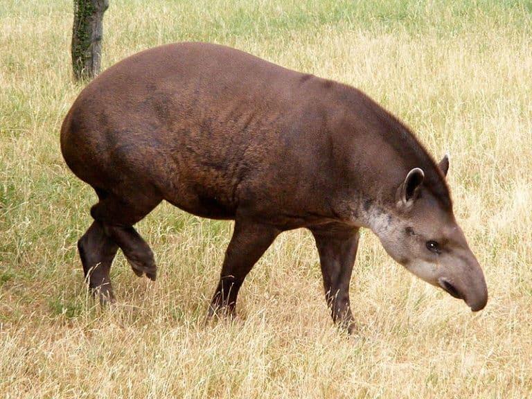 Tapir on grass