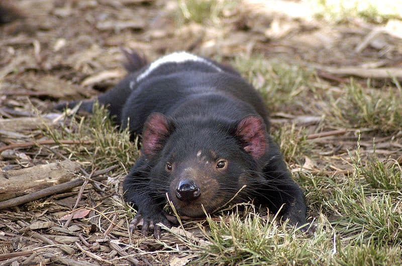 Tasmanian Devil (Sarcophilus Harrisii) - Animals - A-Z Animals