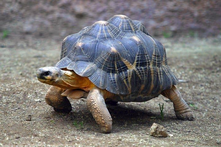 tortoise4 tortoise (geochelone elegans) animals a z animals