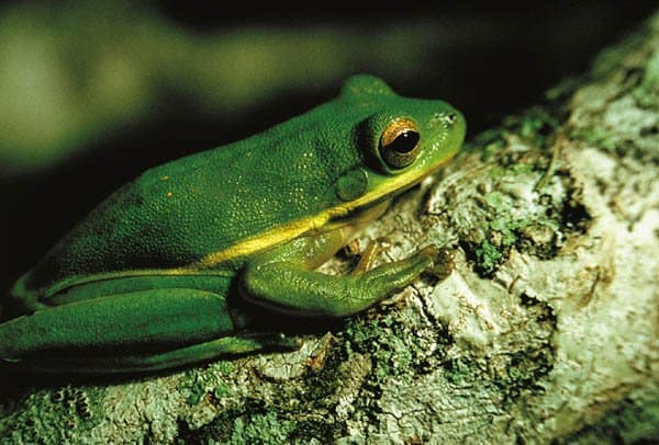 Asian golden tree frog facts images 811