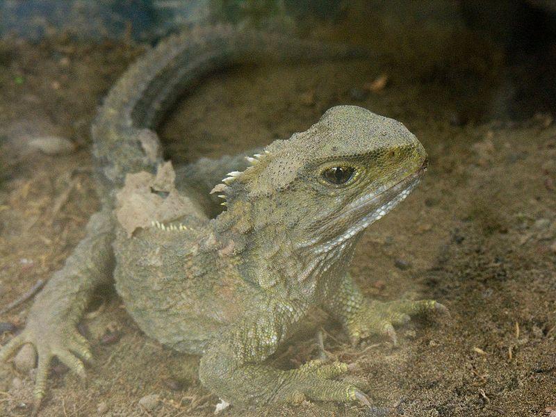 tuatara (Sphenodon punctatus) tuatara up close