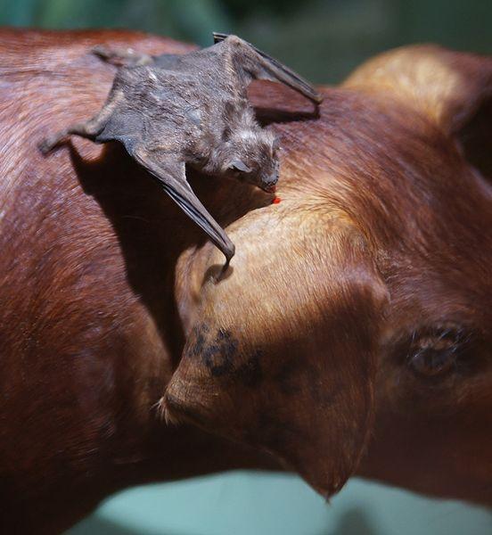 vampire bats sleeping. and guerriere-vampire bat