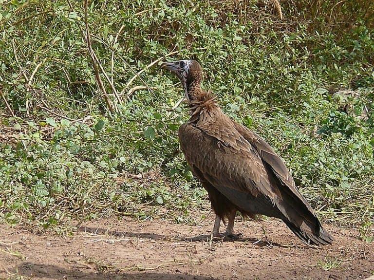 Hooded vulture near Nioro, Senegal.