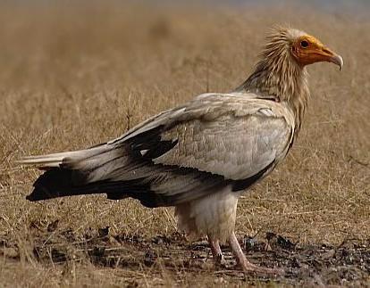 Egyptian Vulture in grassland