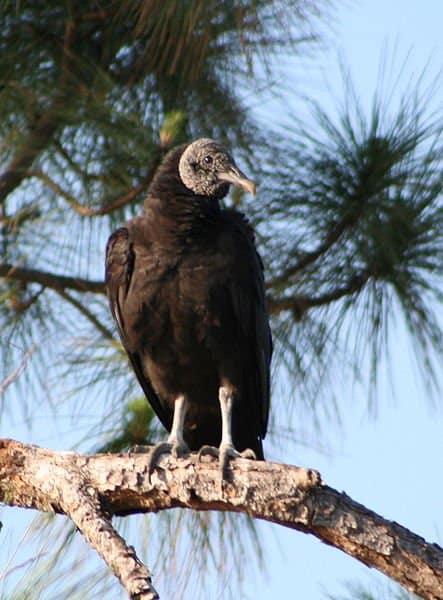 Black Vulture sitting in tree