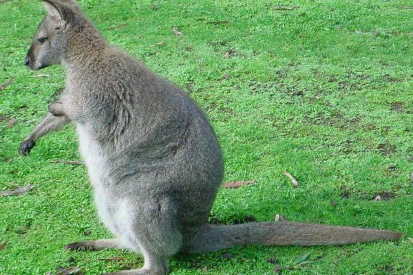 Wallaby Macropus Azanimals Com