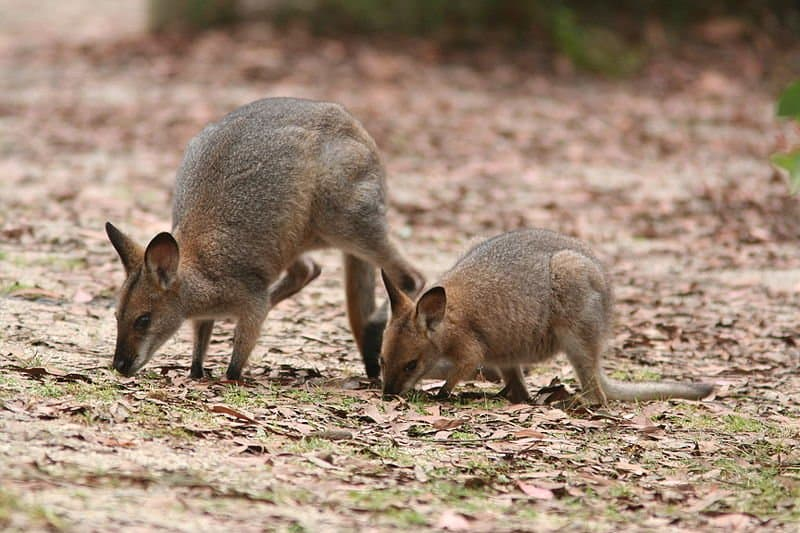 wallaby (Macropodidae) two wallabies eating off the ground
