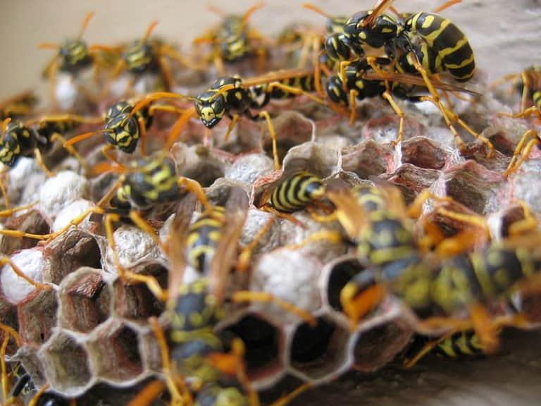 Wasps nesting