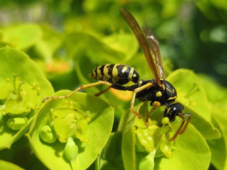 Wasp, Myrtle Spurge