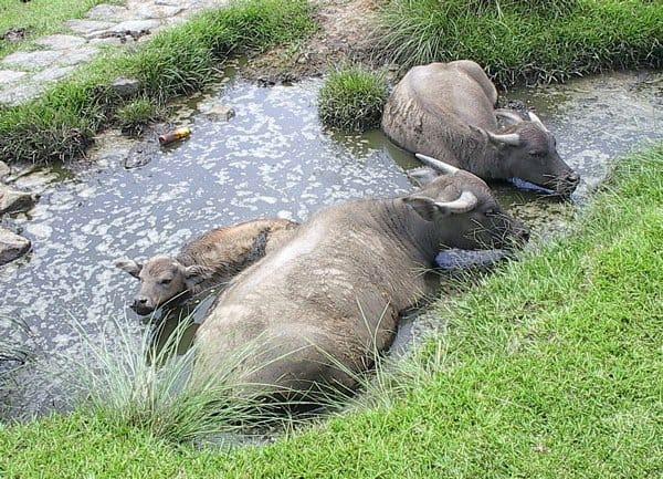 Water buffalo bathing in a sinkhole in Taiwan.