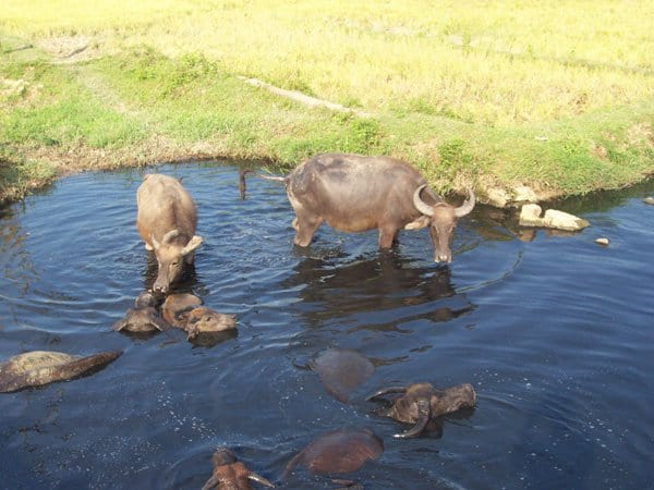 Water buffalos bathing in a sinkhole in Vietnam