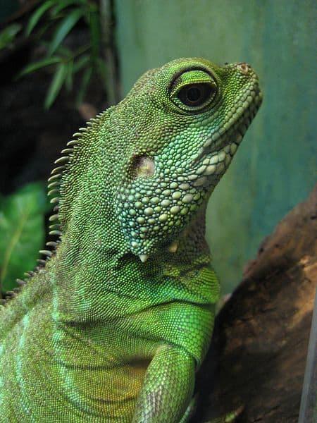 Green water dragon (Physignathus cocincinus)at the Toronto Zoo.