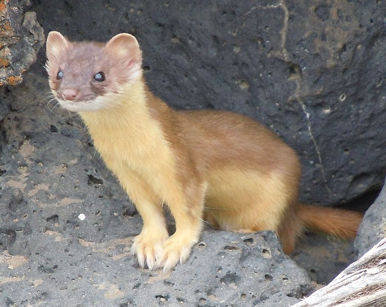 Weasel (Mustela nivalis) - Animals - A-Z Animals - Animal Facts.