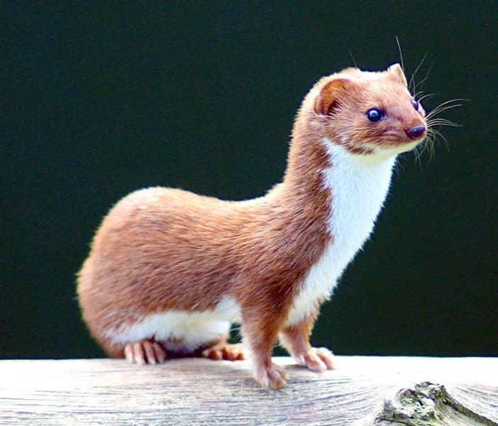 Weasel Mustela Nivalis Animals A Z Animals