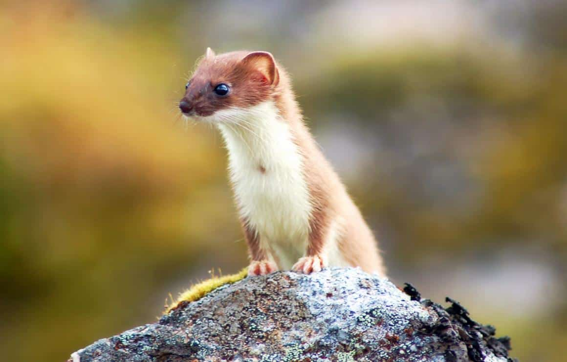 weasel mustela nivalis animals a z animals weasel