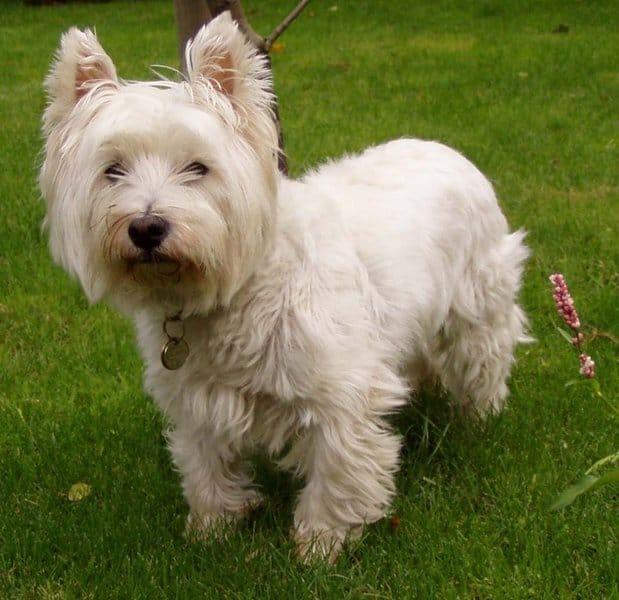 west highland terrier animals a z animals