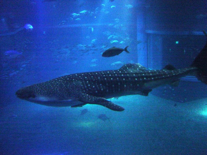 Whale Shark (Rhincodon Typus) - Animals - A-Z Animals - Animal ...