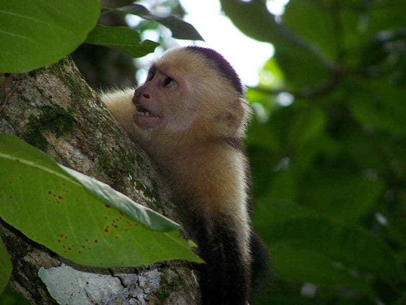 White Faced Capuchin Facts White-faced Capuchin Monkey in