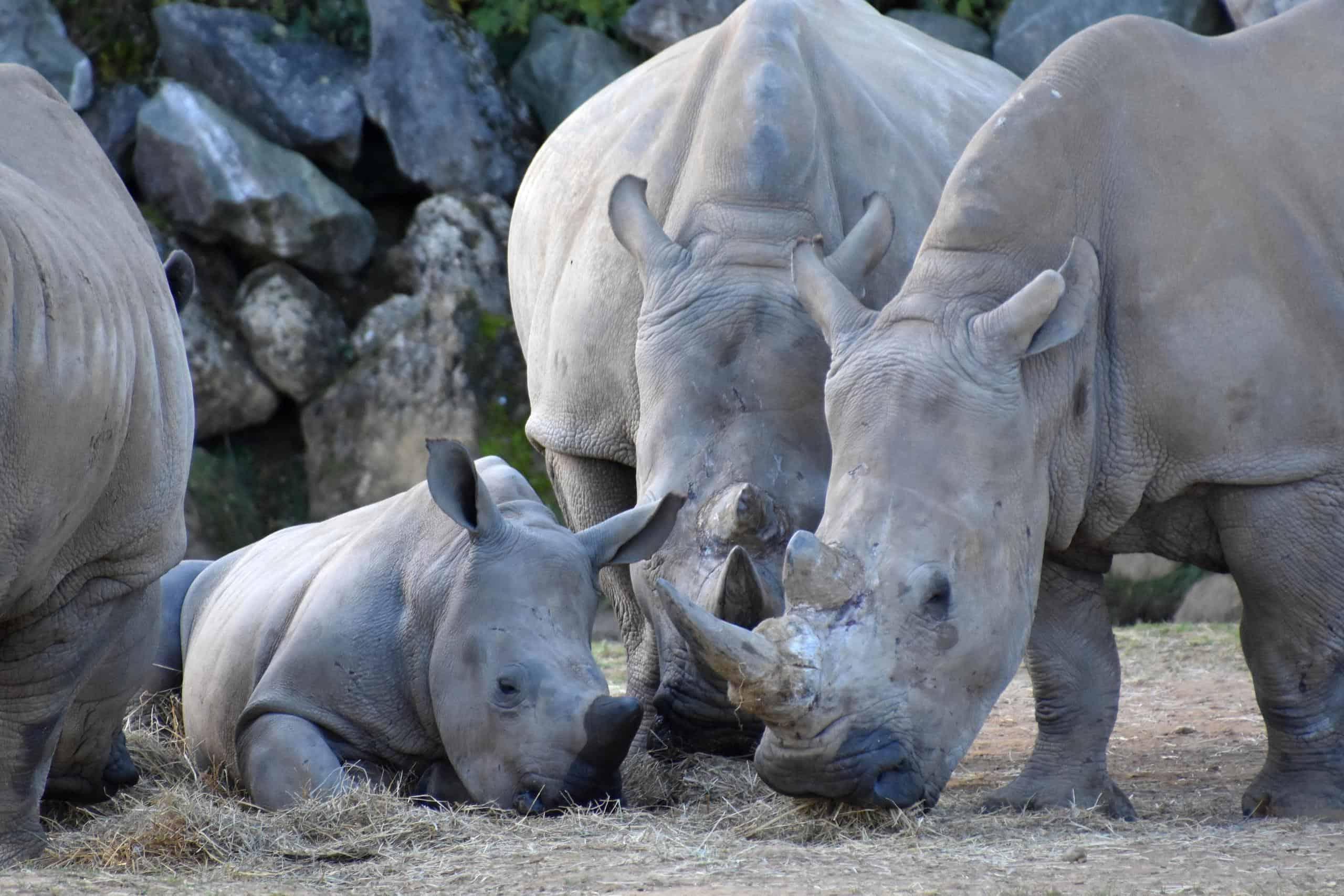 Picture 6 of 17 - White Rhinoceros (Ceratotherium Simum ...