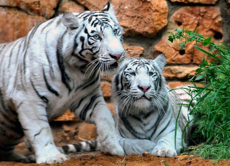 Picture 3 of 9 - White Tiger (Panthera Tigris Tigris ...