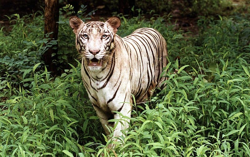 Y Tigers Are Endangered Picture 6 of 9 - White...