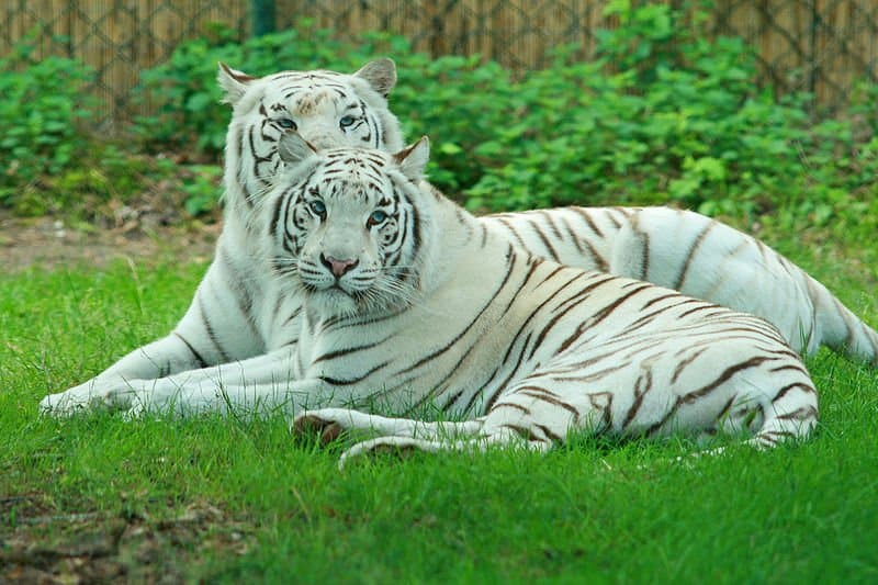 picture 7 of 9 - white tiger (panthera tigris tigris) pictures
