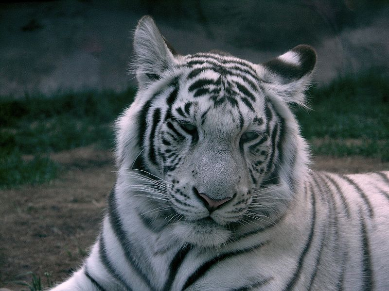 white tiger (panthera tigris tigris) - animals - a-z animals