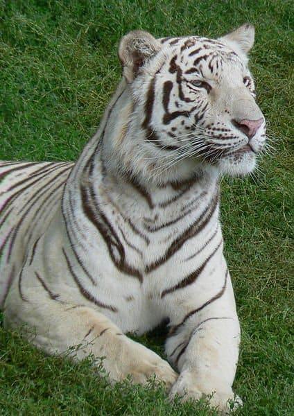 Picture 4 of 9 white tiger panthera tigris tigris pictures images animals a z animals - Photo de tigre blanc a imprimer ...
