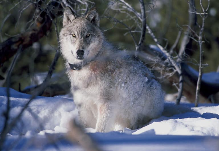 A 130 pound wolf watches biologists in Yellowstone National Park