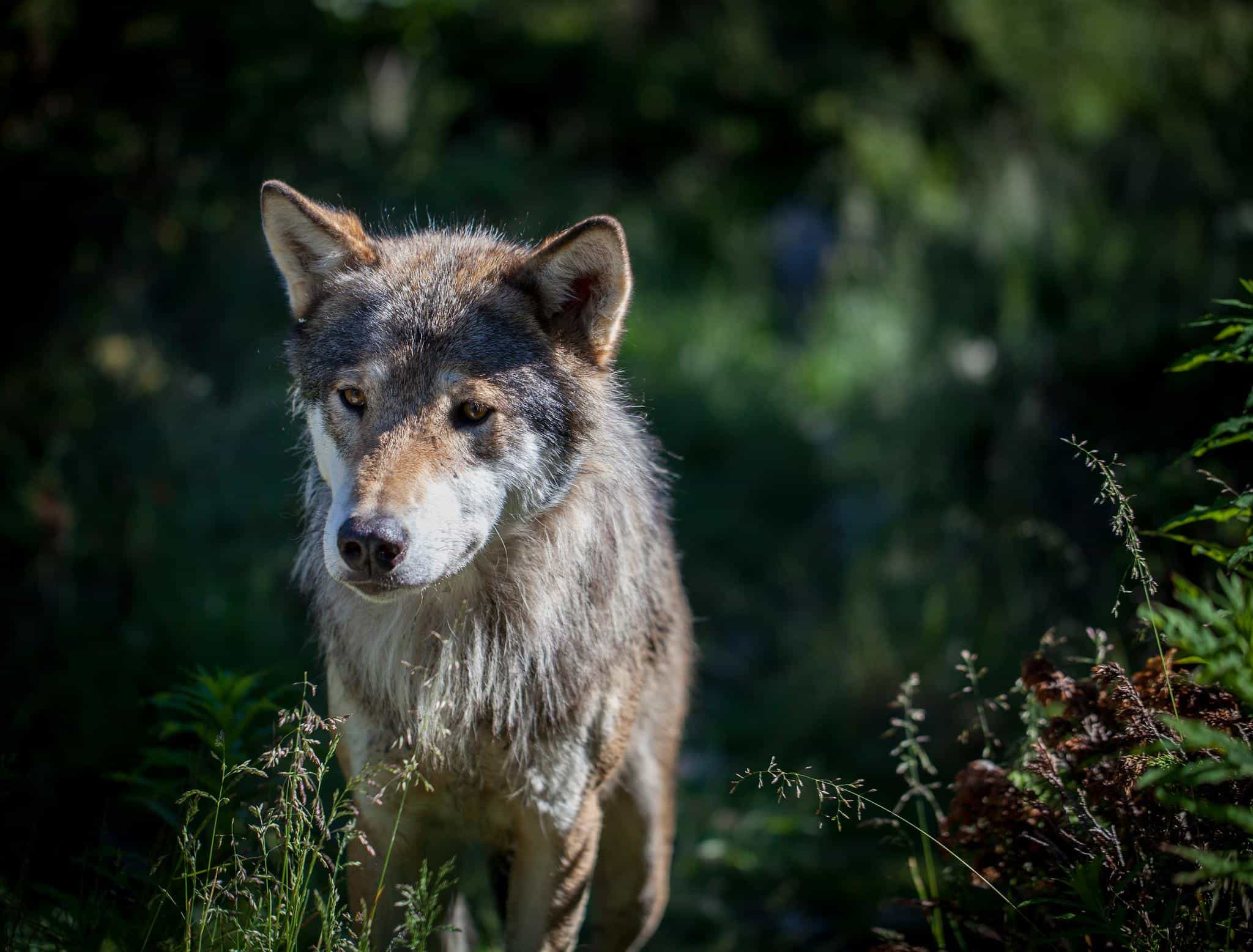 Wolves: types of wolves, description, lifestyle, photo 46