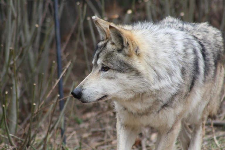 A wolf at Oklahoma City Zoo.