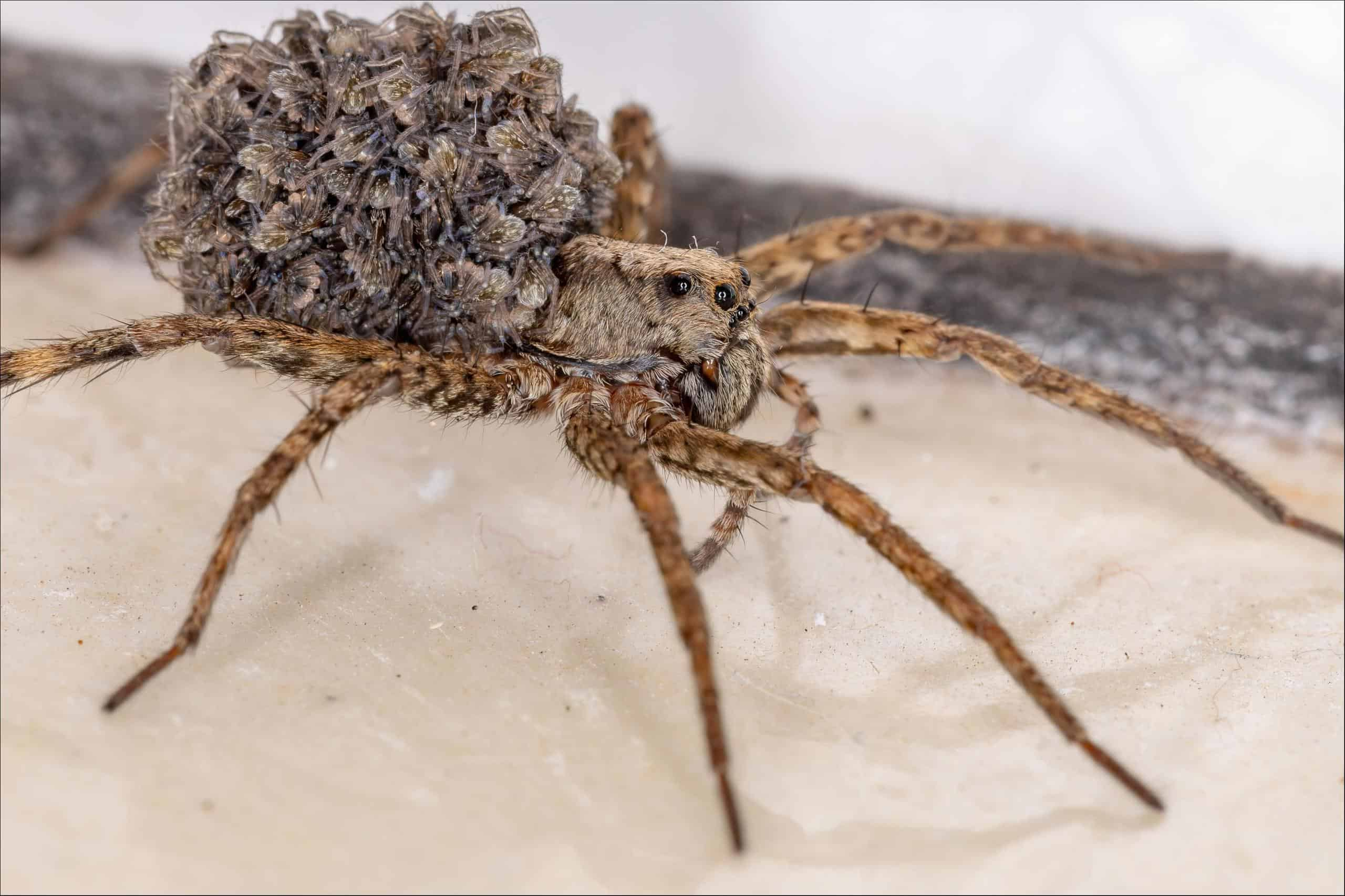 wolf spider (Lycosidae)  wolf spider with babies