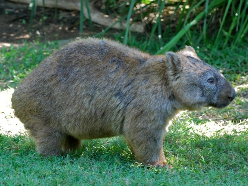Wombat standing in the grass