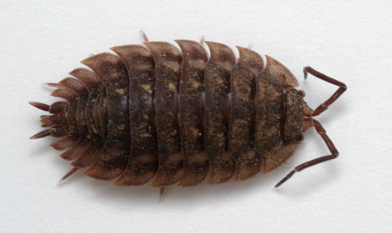 information about woodlice Woodlice are not insects, but are crustaceans more closely related to crabs and shrimps than insects the body is divided into th.