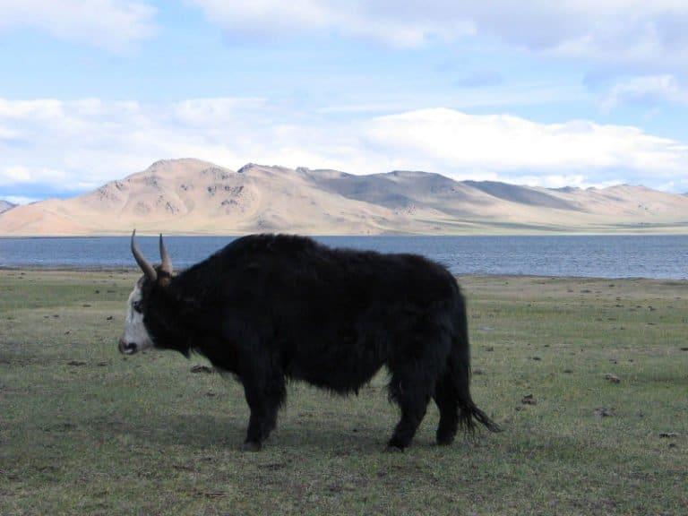 Yak in grassland in Mongolia