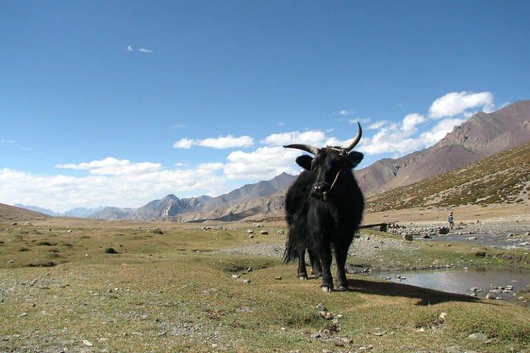 Yak in Markha Valley, Ladakh