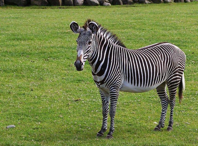 Zebra Scientific Name Grevys Zebra from Aalborg Zoo